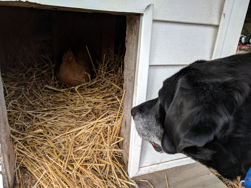 Chicken-Nesting-in-the-Dog-House