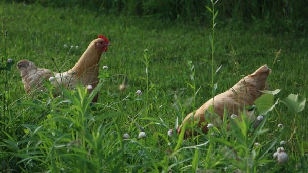 Chickens on the Pasture