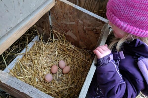 Child Helping with Chicken Chores