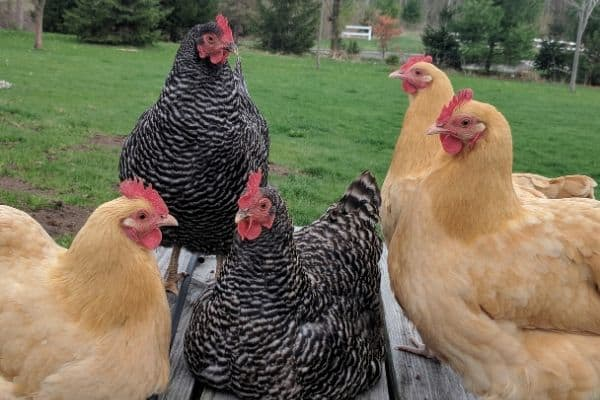 Group of Hens Hanging Out